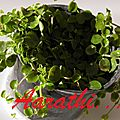 Peperomia <b>rotundifolia</b> / Radiator Plant