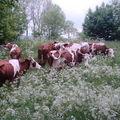 2008 05 29 Le troupeau de vache boiteuse dans l'herbe