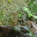 Serpent ratier oriental/oriental rat snake/南蛇 (ptyas mucosus)