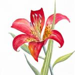 red-lily-deborah-ronglien