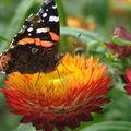 2008 09 10 Un papillon sur une fleur d'immortelle