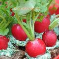Radis version potagère, du jardin à l'assiette