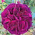 les rosiers 'anglais' du jardin