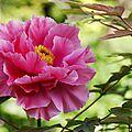 Pivoine rose_13 14 05_2634