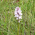 une orchidée sur la tourbière: l'orchis mâle