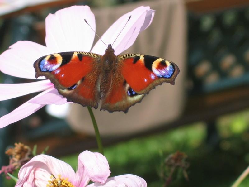 encore ce Joli papillon