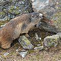 Le marquage jugal chez la <b>marmotte</b> alpine...