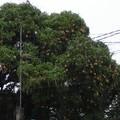A Mahébourg toujours, les arbres sont recouverts de mangues... mais vertes ! :o(