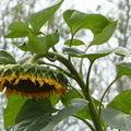 2008 09 26 Une fleur de tournesol Hélianthus Lin
