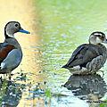 Canard à collier noir (Callonetta leucophrys)