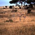 amboseli gazelle bb