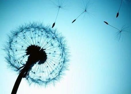 Pissenlit----L'amour qui vole, sans rester.