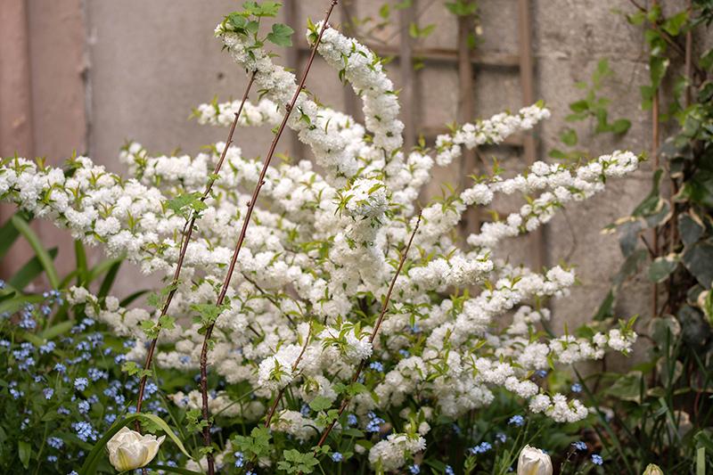 Prunus glandulosa Alba Plena (7)