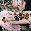 Fruits et graines de Palmitos