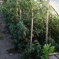 2009 08 14 Mes tomates sous serre (2)