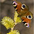 Butterfly (81)