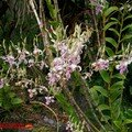 orchid_36