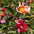 Empereur de Chine: Le rosier 'Chinensis Mutabilis'