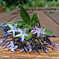 <b>Amsonia</b> <b>orientalis</b> '<b>Blue</b> <b>Ice</b>' versus <b>Amsonia</b> <b>orientalis</b>