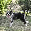 Nino - border collie plein d'amour à adopter (34)