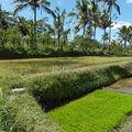 Semis à planter en rizière