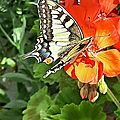 un joli <b>papillon</b> : le Machaon