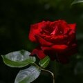 Rose rouge 30