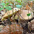 Cèpes d'été parmi les petits chênes...