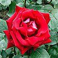 La rose <b>abbé</b> <b>Lemire</b>
