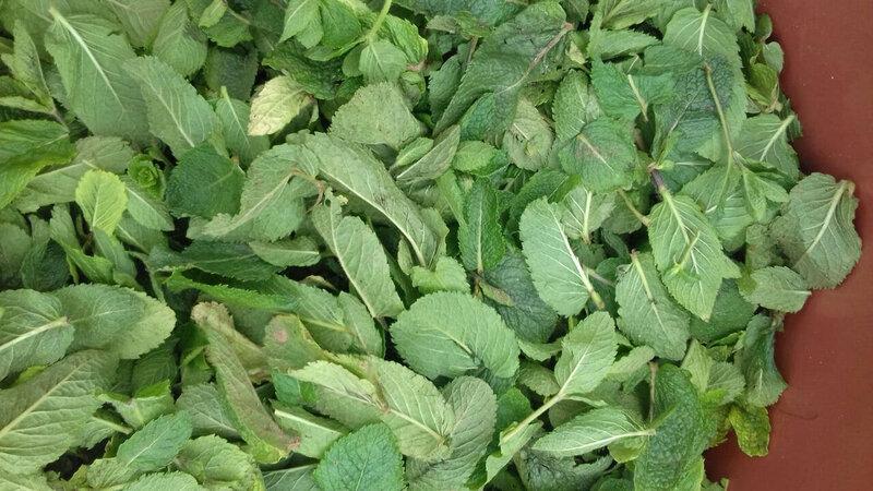 les feuilles de menthe poivrée