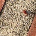 Acarien Trombidium holosericeum