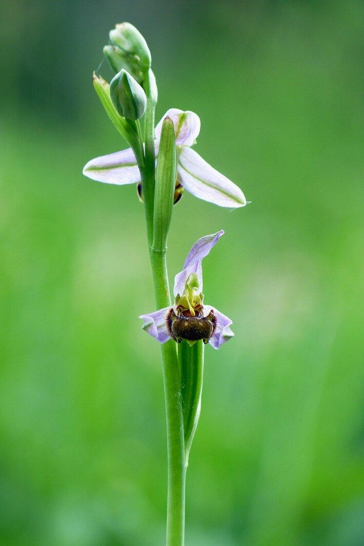 orchidée_abeille-2juin14