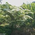 Cornus kousa sp. qui fleurissent dès la fin mai-début juin
