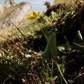 Ranunculus thora