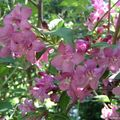 Weigelia rose Florida