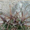 Ferocactus horridus