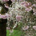 cerisier rose du Japon