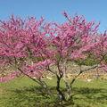 L'arbre de judee