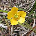Fleur jaune des champs