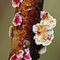Phlebia rufa