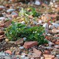 Toit végétal - plantes #3