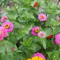 2008 09 05 Mes zinnias
