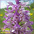 Orchis militaris - comp