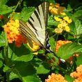 Papillon du jardin de la pension à SELIMIYE