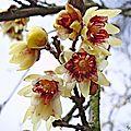 Chimonanthe précoce - variété 'grandiflorus'