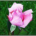 Bouton de rose 190915