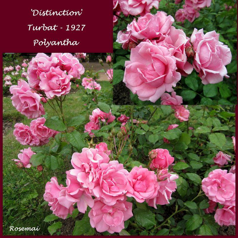 Rose ancienne orléanaise : 'Distinction'
