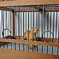 La cage à lionne