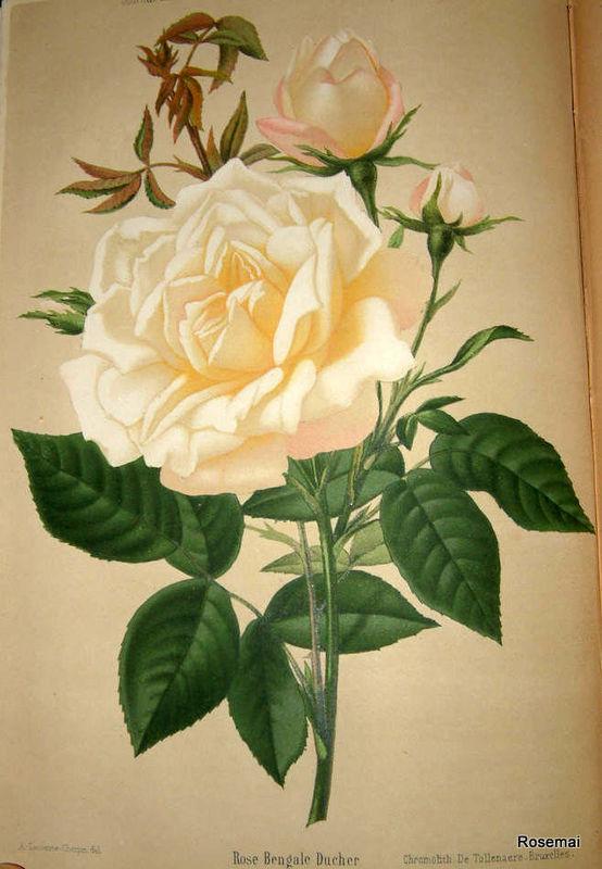 Le Journal des Roses : 'Bengale Ducher'