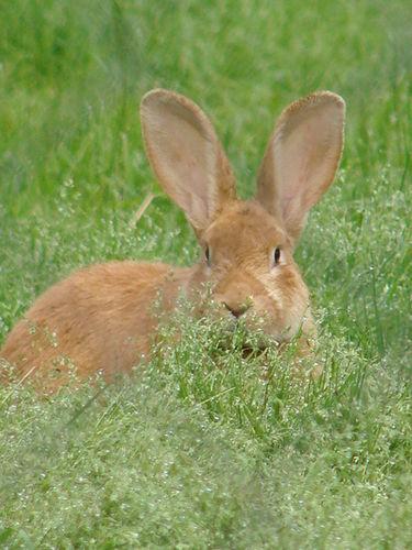 2008 05 31 Le lapin dans l'herbe avec ses deux grande oreilles
